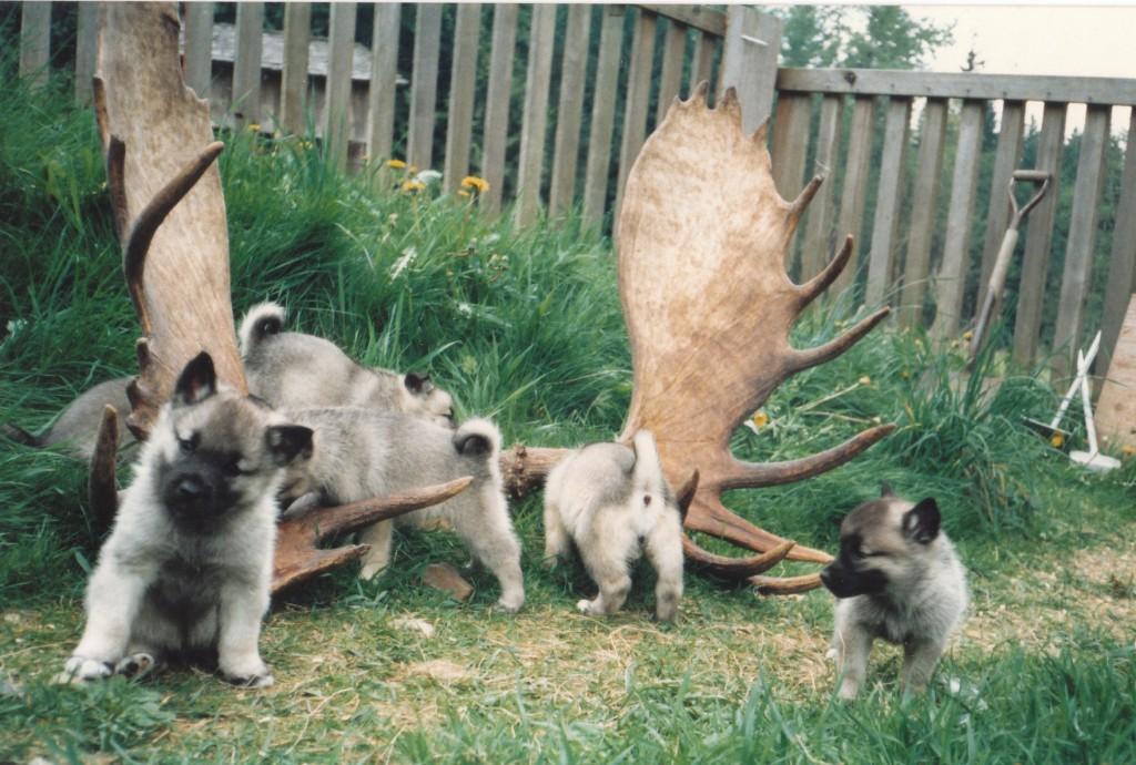 Vigeland_Kennels_pups_moose